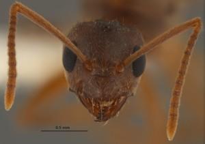 crazy-ant